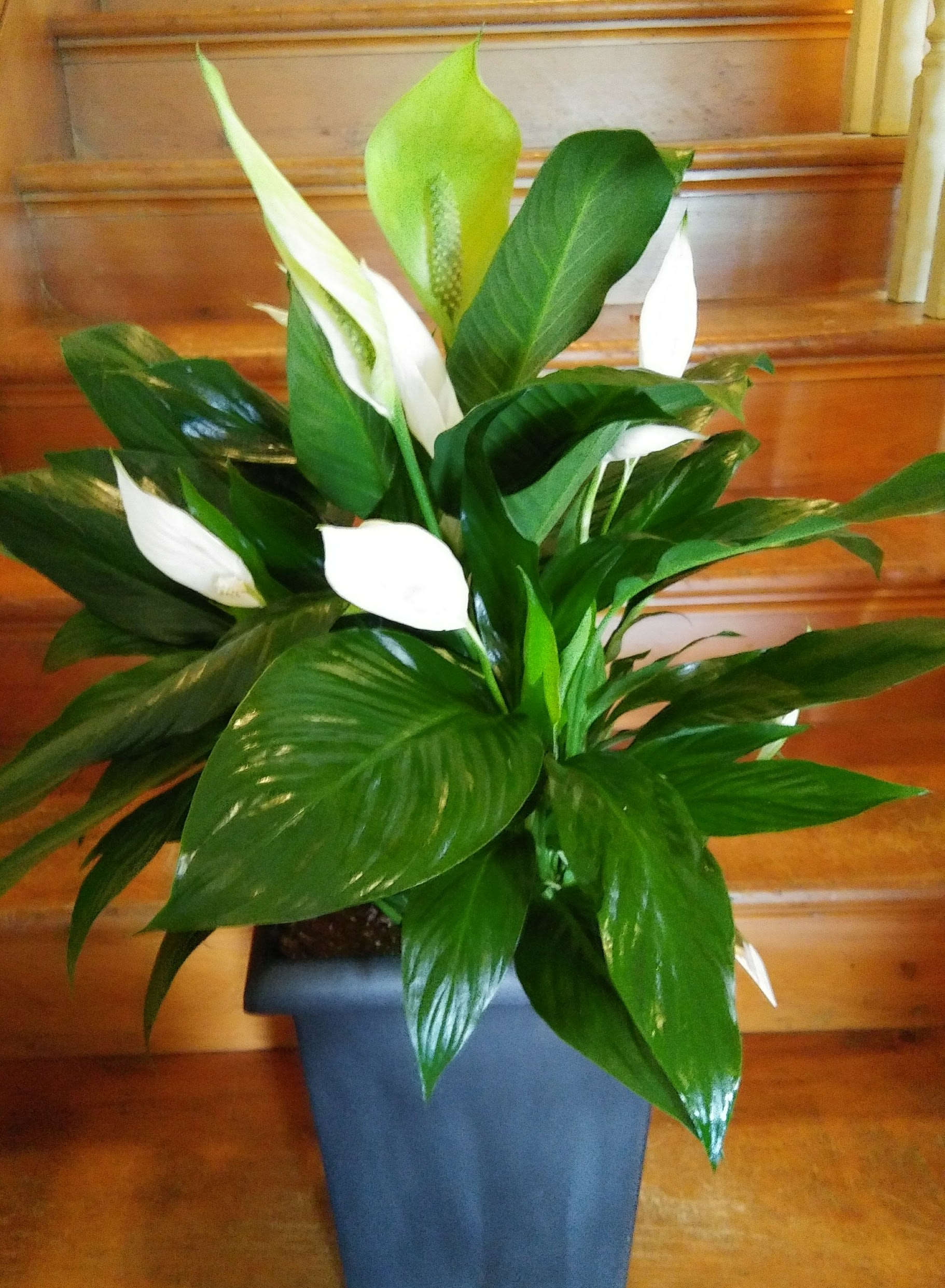 Peace Lily in Fort Madison, IA | The Flower Cottage on corn plant houseplant, bamboo palm houseplant, dragon tree houseplant, kentia palm houseplant, snake plant houseplant, kalanchoe houseplant, begonia houseplant, nephthytis houseplant, rubber plant houseplant, philodendron houseplant, purple wandering jew houseplant, ivy houseplant, cactus houseplant, rubber tree houseplant, schefflera houseplant, dieffenbachia houseplant, boston fern houseplant, peperomia houseplant, dracaena houseplant,