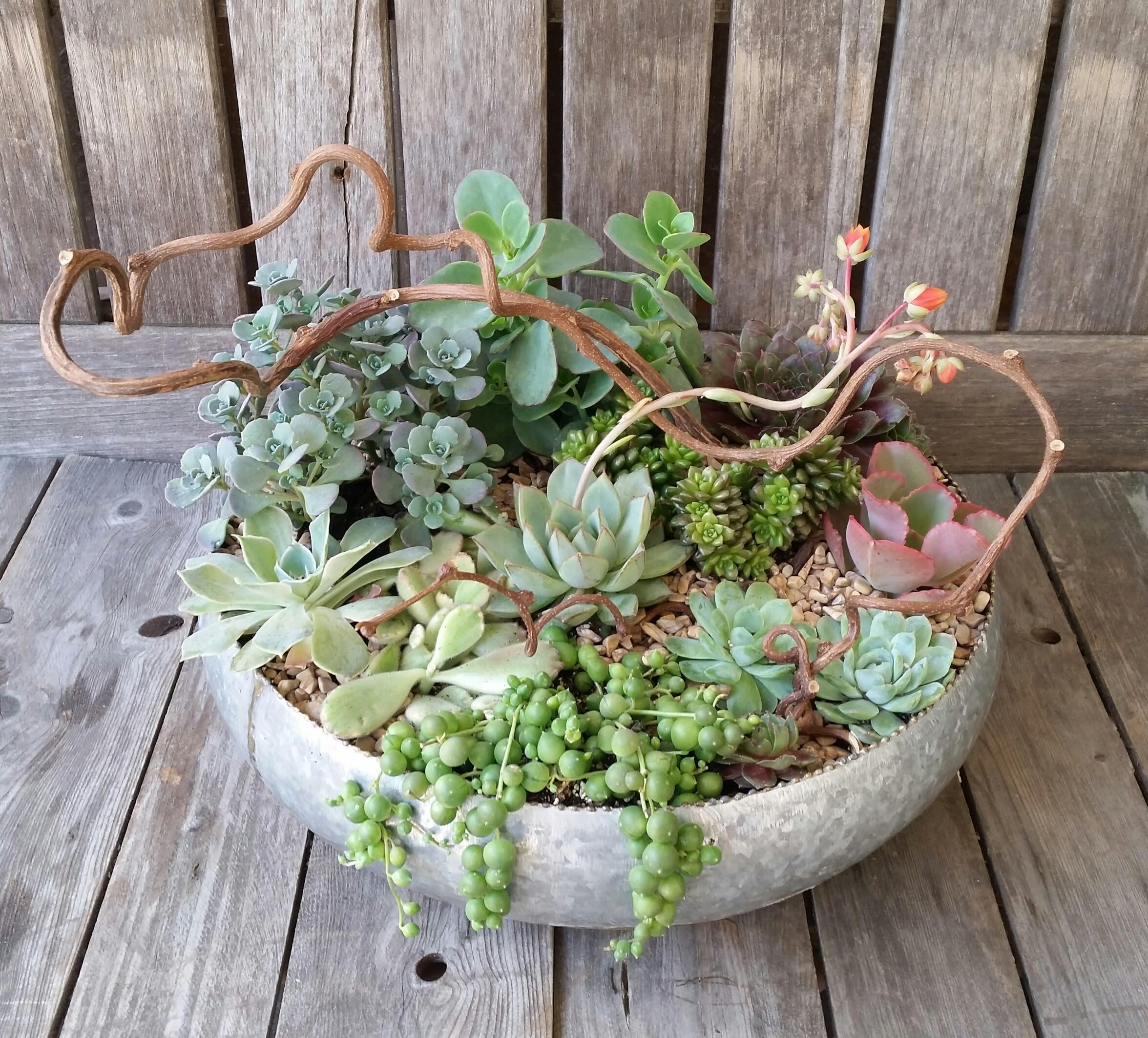 Succulent Garden Celebration By Orchard Nursery Florist