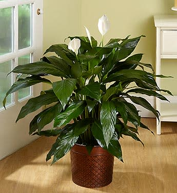Peace Lily House Plant Html on pineapple plant house plant, dragon plant, black gold lily plant, zamiifolia house plant, croton house plant, peace lily plant benefits, problems with peace lily plant, artificial bamboo house plant, black bamboo potted plant, peace lily family plant, peace lily potted plant, classic peace lily plant, chinese evergreen house plant, marginata house plant, weeping fig house plant, peace plant brown leaves, holly house plant, white and green leaves house plant, funeral peace lily plant, droopy peace lily plant,