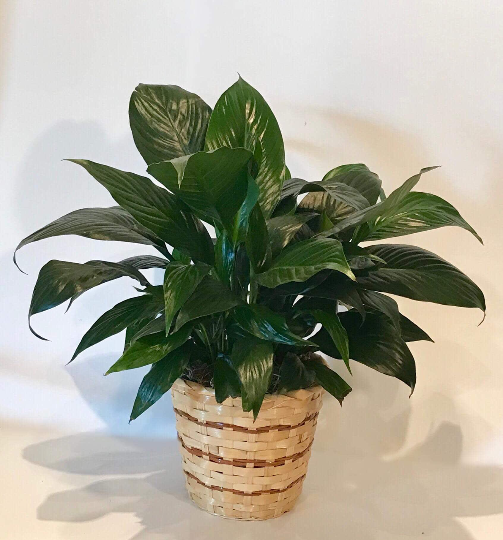 Peace Lily Plant in Tulsa, OK | Mrs. DeHavens Flower Shop on corn plant houseplant, bamboo palm houseplant, dragon tree houseplant, kentia palm houseplant, snake plant houseplant, kalanchoe houseplant, begonia houseplant, nephthytis houseplant, rubber plant houseplant, philodendron houseplant, purple wandering jew houseplant, ivy houseplant, cactus houseplant, rubber tree houseplant, schefflera houseplant, dieffenbachia houseplant, boston fern houseplant, peperomia houseplant, dracaena houseplant,
