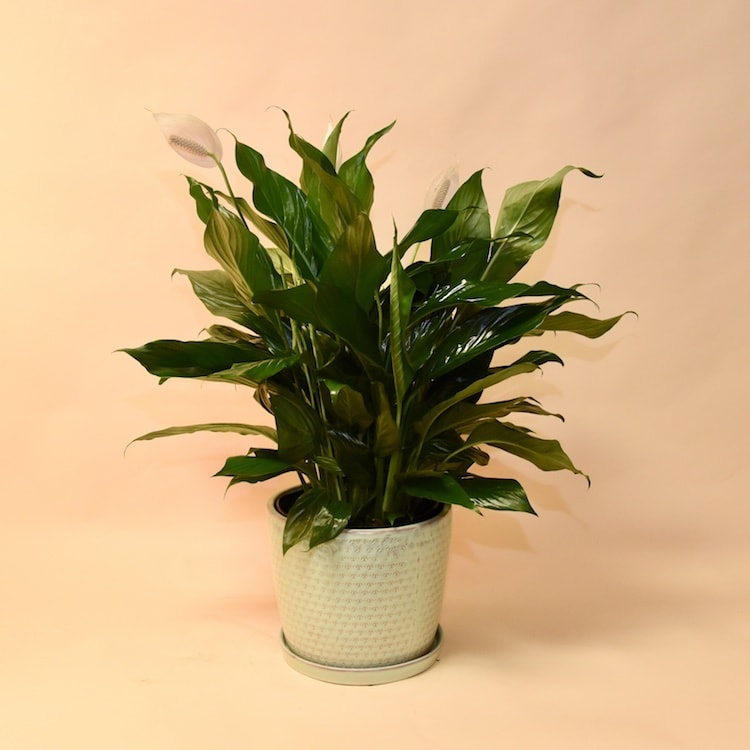 McShan Spathiphyllum Plant in Dallas, TX | McShan Florist on corn plant houseplant, bamboo palm houseplant, dragon tree houseplant, kentia palm houseplant, snake plant houseplant, kalanchoe houseplant, begonia houseplant, nephthytis houseplant, rubber plant houseplant, philodendron houseplant, purple wandering jew houseplant, ivy houseplant, cactus houseplant, rubber tree houseplant, schefflera houseplant, dieffenbachia houseplant, boston fern houseplant, peperomia houseplant, dracaena houseplant,