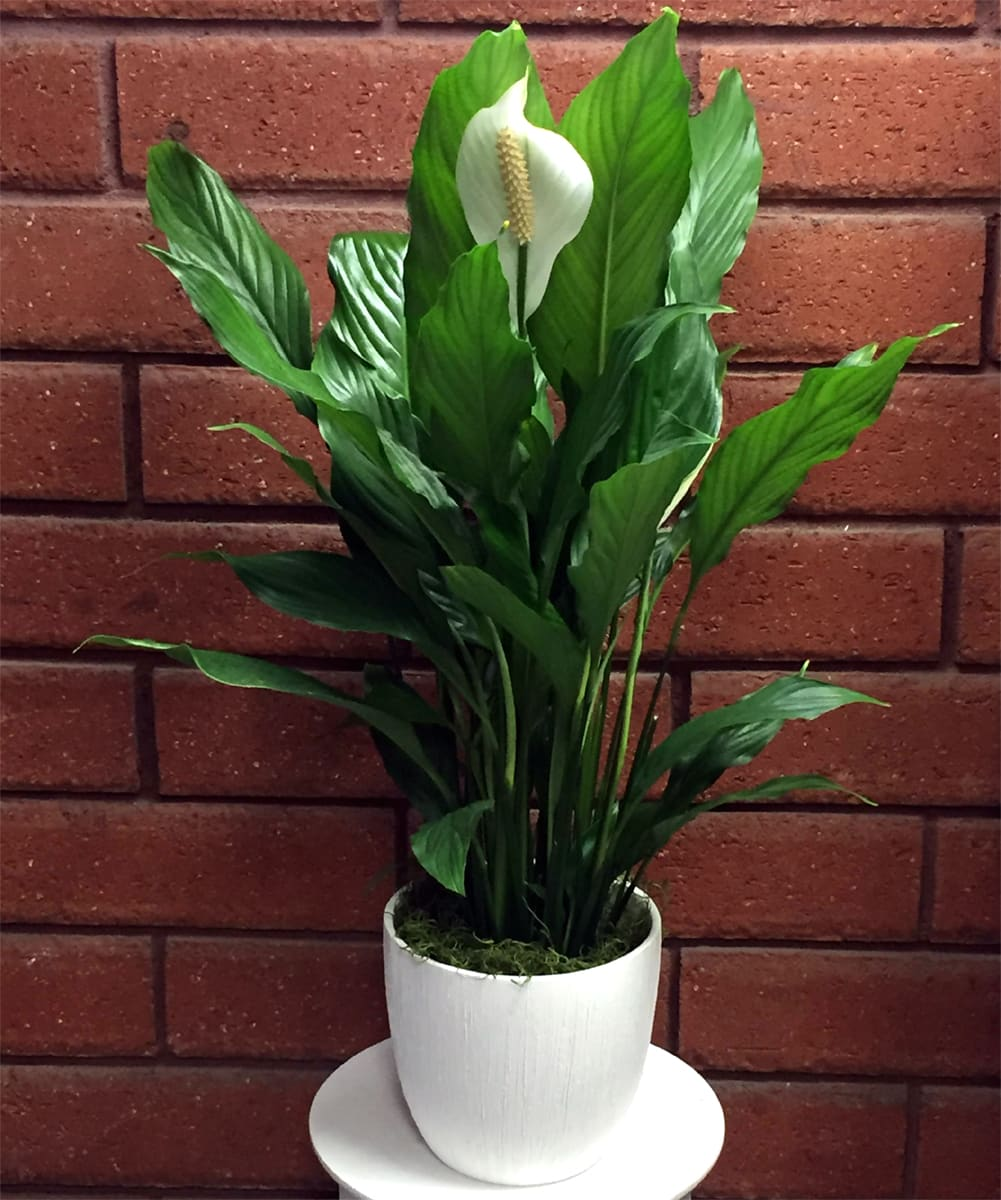 Peace Lily   Spathiphyllum Plant in San go, CA   House of Stemms on vanda house plants, north carolina house plants, missouri house plants, angel house plants, lucky house plants,