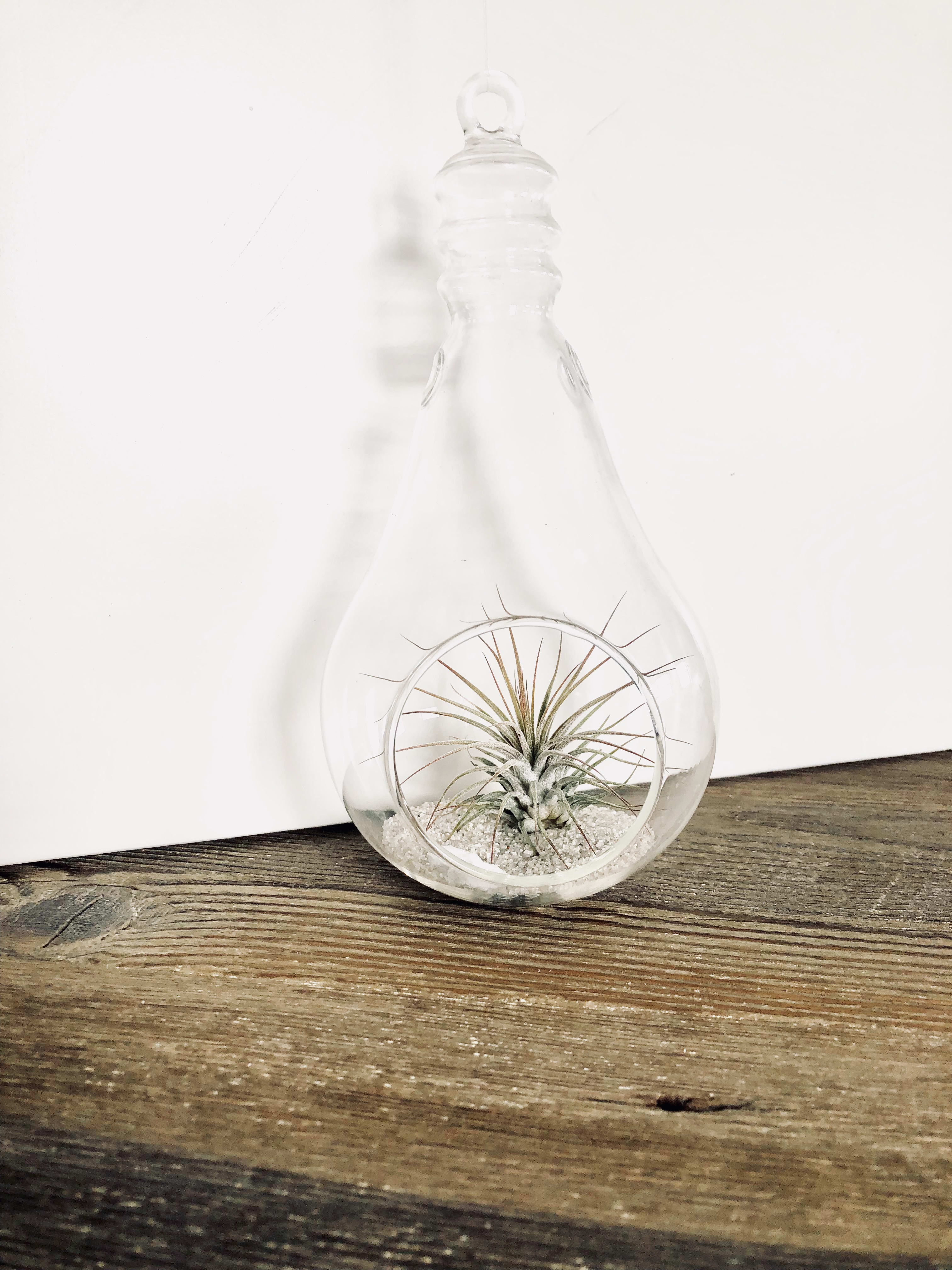 Airplant in small Teardrop Glass