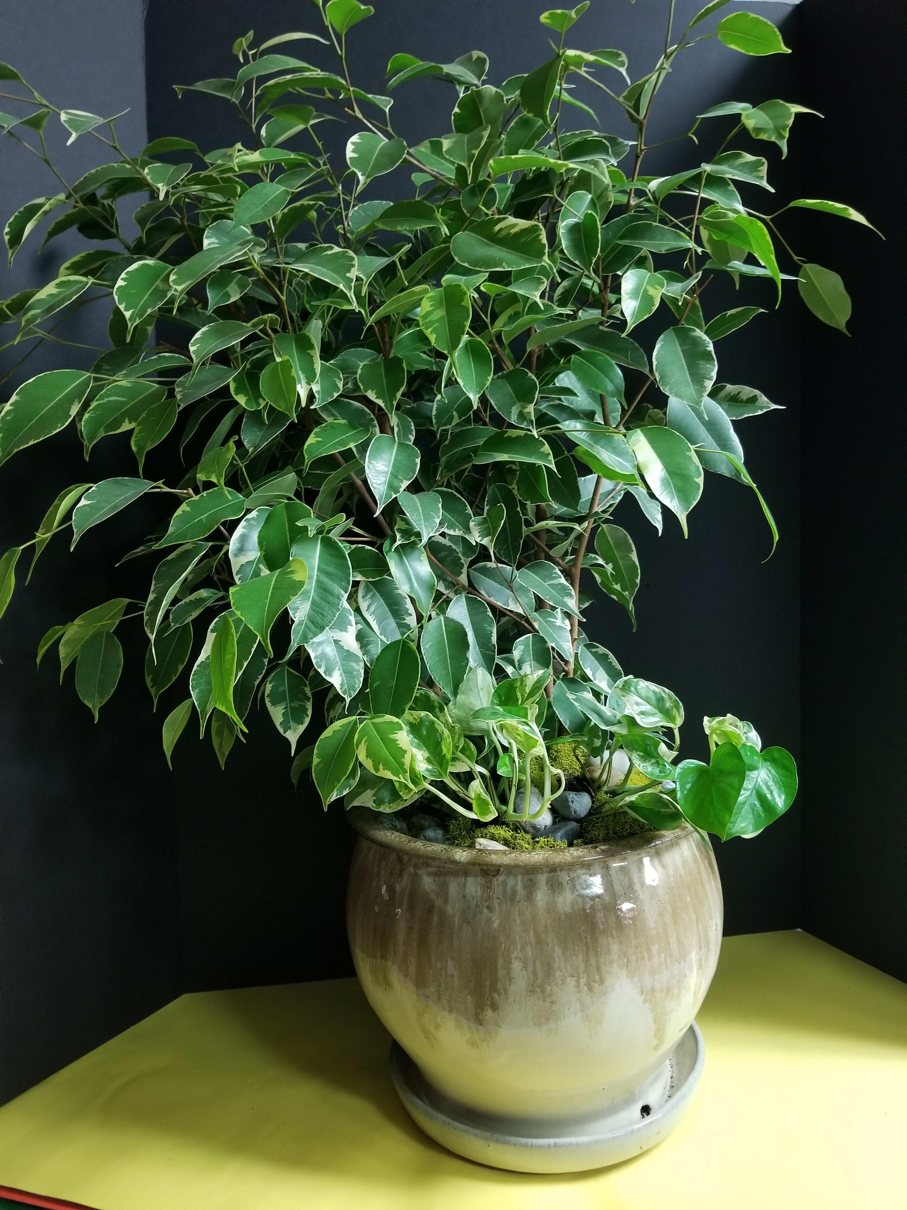 Image result for ficus benjamina tree