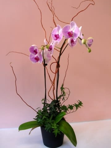 Lavender Phalaenopsis Orchid Garden W559