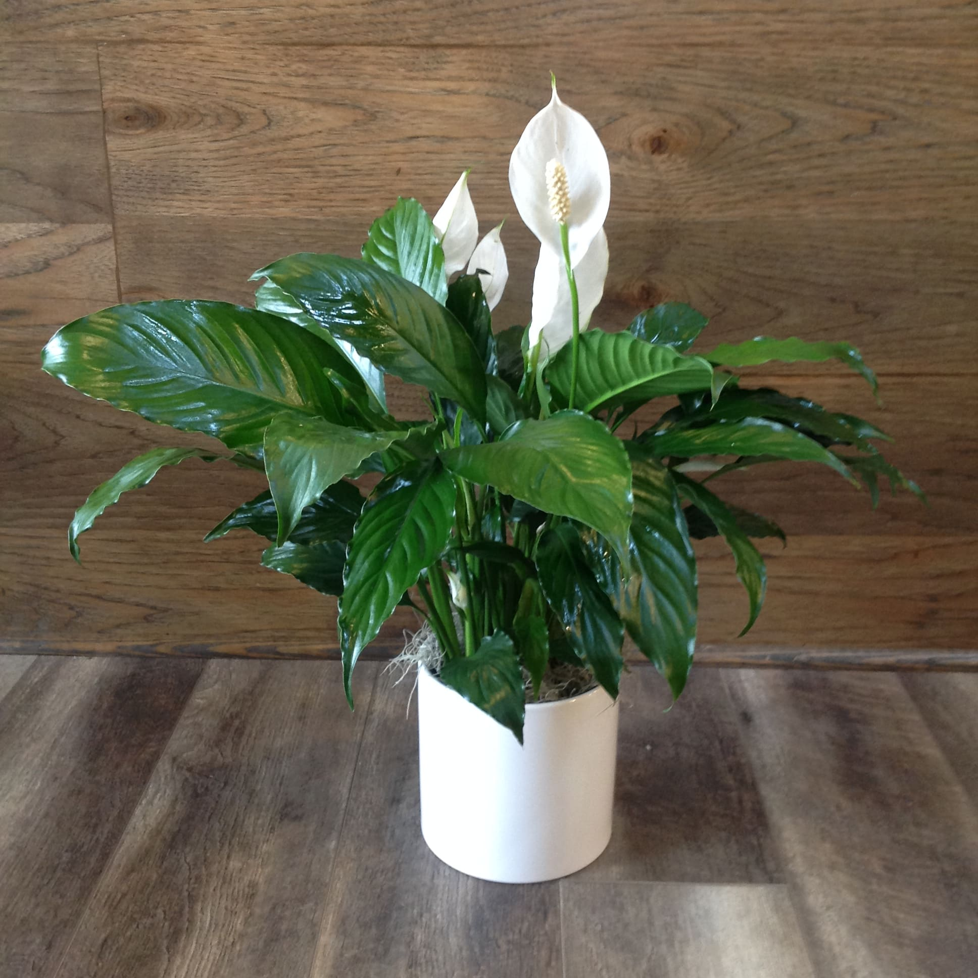 Types Of Lilies In Florida: Classic Peace Lily Plant In Denton, TX
