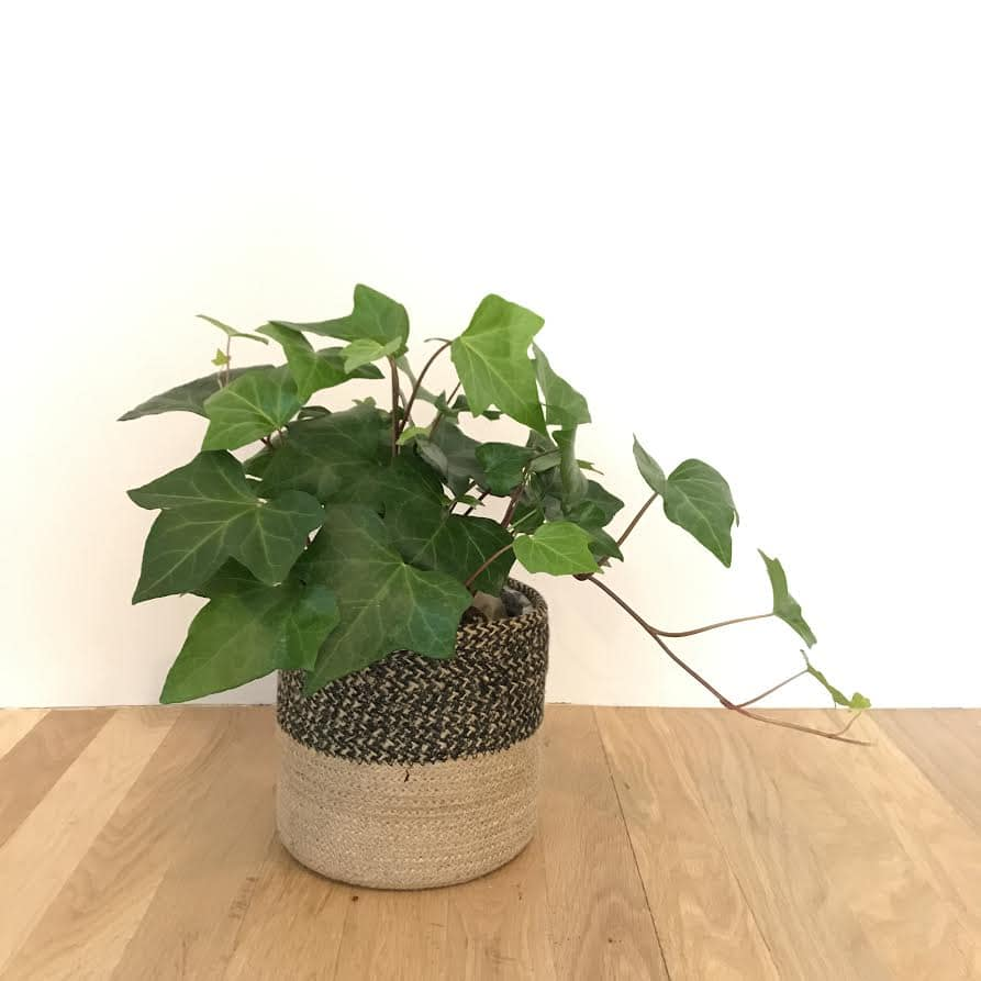 Small Potted Plant In Basket In Charlottesville Va Hedge Fine Blooms