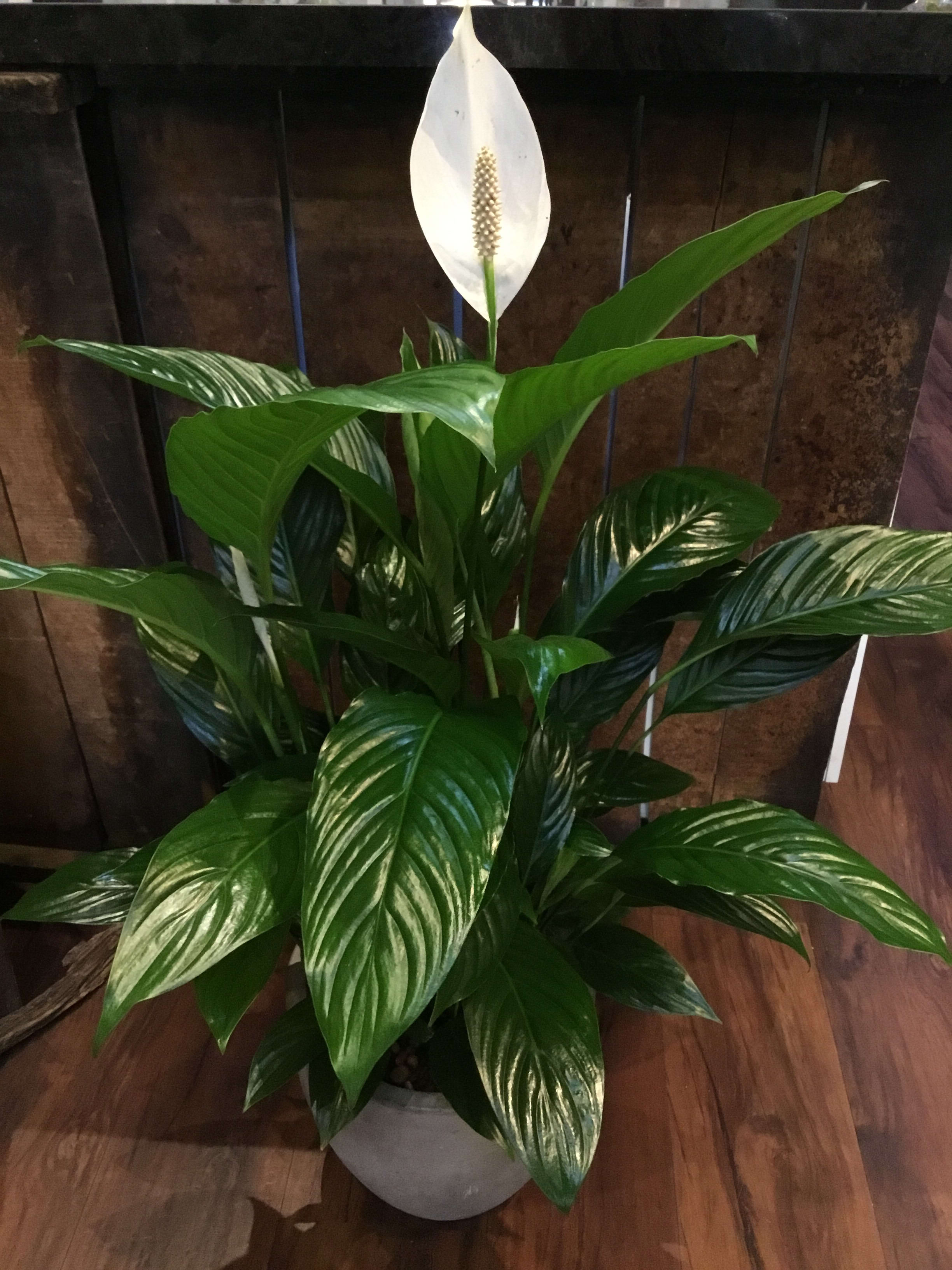 Peace Lily plant in Burlingame, CA | Floral Art and Decor on corn plant houseplant, bamboo palm houseplant, dragon tree houseplant, kentia palm houseplant, snake plant houseplant, kalanchoe houseplant, begonia houseplant, nephthytis houseplant, rubber plant houseplant, philodendron houseplant, purple wandering jew houseplant, ivy houseplant, cactus houseplant, rubber tree houseplant, schefflera houseplant, dieffenbachia houseplant, boston fern houseplant, peperomia houseplant, dracaena houseplant,