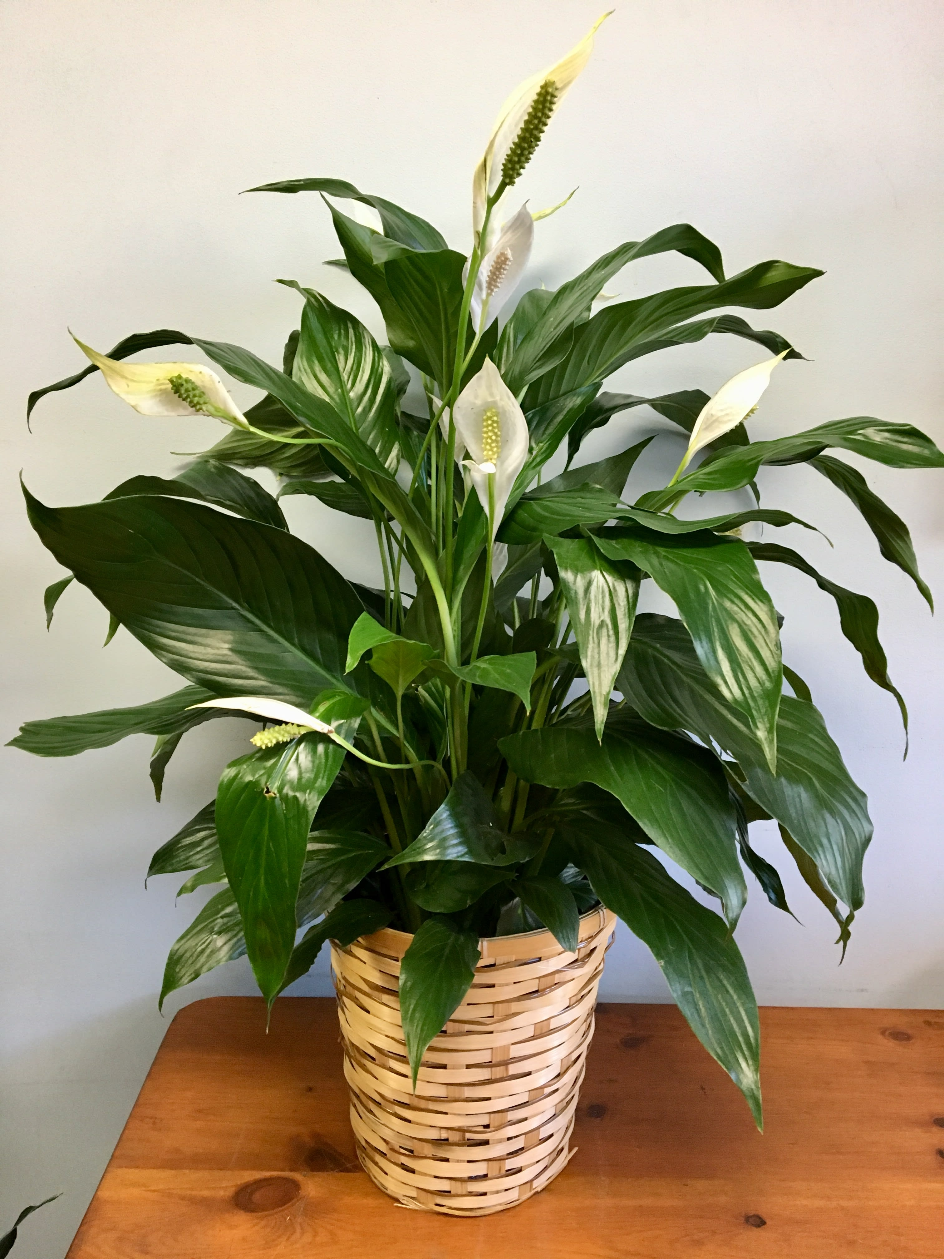 Peace Lily Floor Plant in Cambridge, MA | Coady Florist on peace lily family plant, chinese evergreen house plant, droopy peace lily plant, funeral peace lily plant, peace lily potted plant, peace lily plant benefits, classic peace lily plant, black bamboo potted plant, white and green leaves house plant, croton house plant, peace plant brown leaves, dragon plant, holly house plant, zamiifolia house plant, problems with peace lily plant, weeping fig house plant, marginata house plant, artificial bamboo house plant, black gold lily plant, pineapple plant house plant,