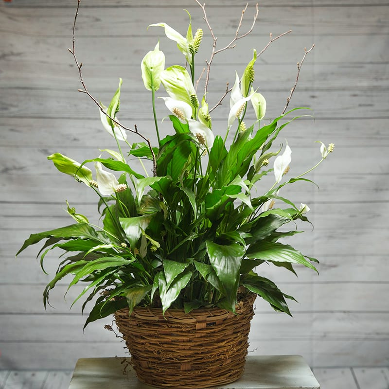 Peace Lily Plant in nford, CT | Cynthia's Flower Shop on pineapple plant house plant, dragon plant, black gold lily plant, zamiifolia house plant, croton house plant, peace lily plant benefits, problems with peace lily plant, artificial bamboo house plant, black bamboo potted plant, peace lily family plant, peace lily potted plant, classic peace lily plant, chinese evergreen house plant, marginata house plant, weeping fig house plant, peace plant brown leaves, holly house plant, white and green leaves house plant, funeral peace lily plant, droopy peace lily plant,