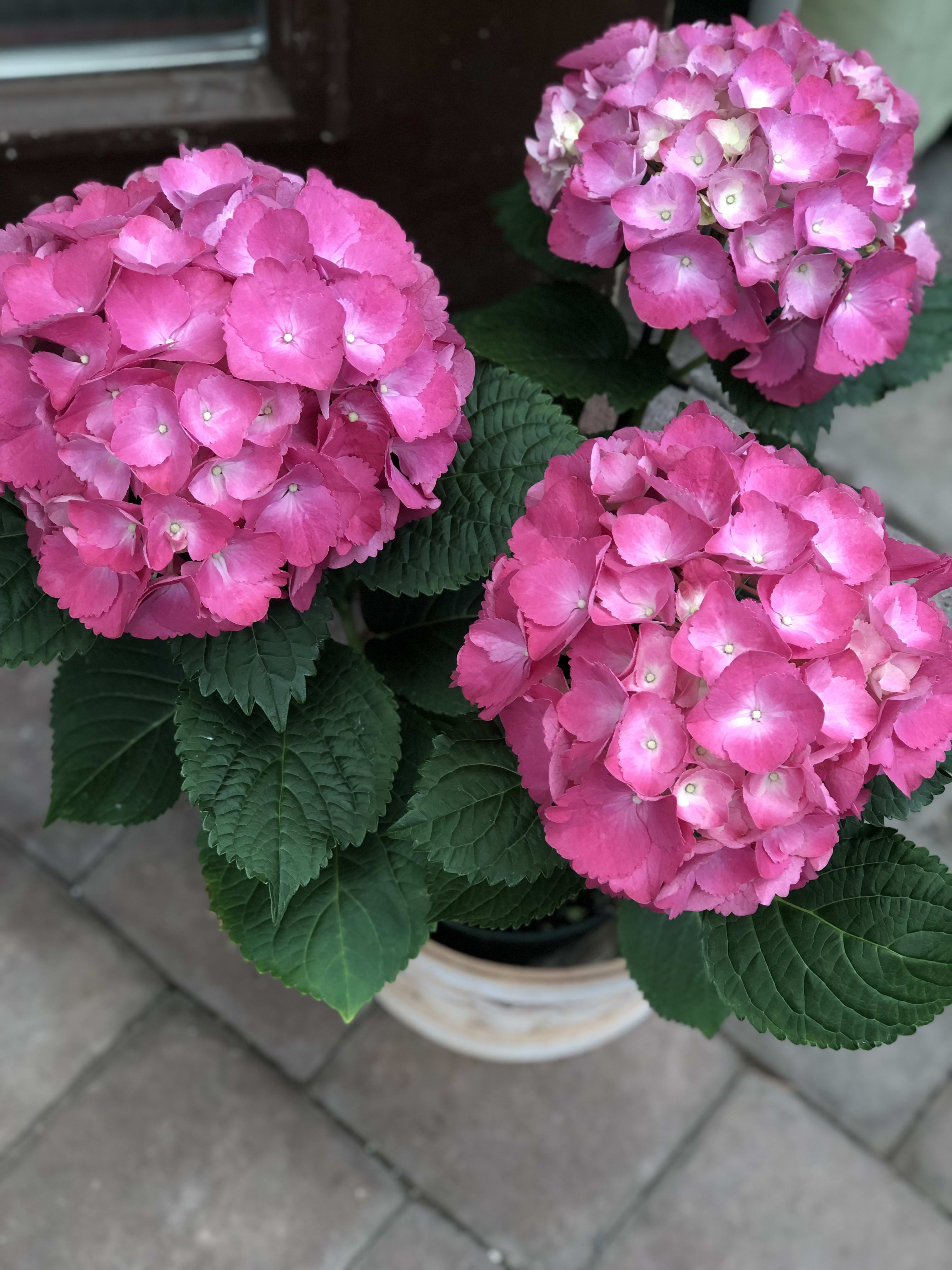 Blooming Plants Roses Hydrangeas Lilacs And More In Pottstown