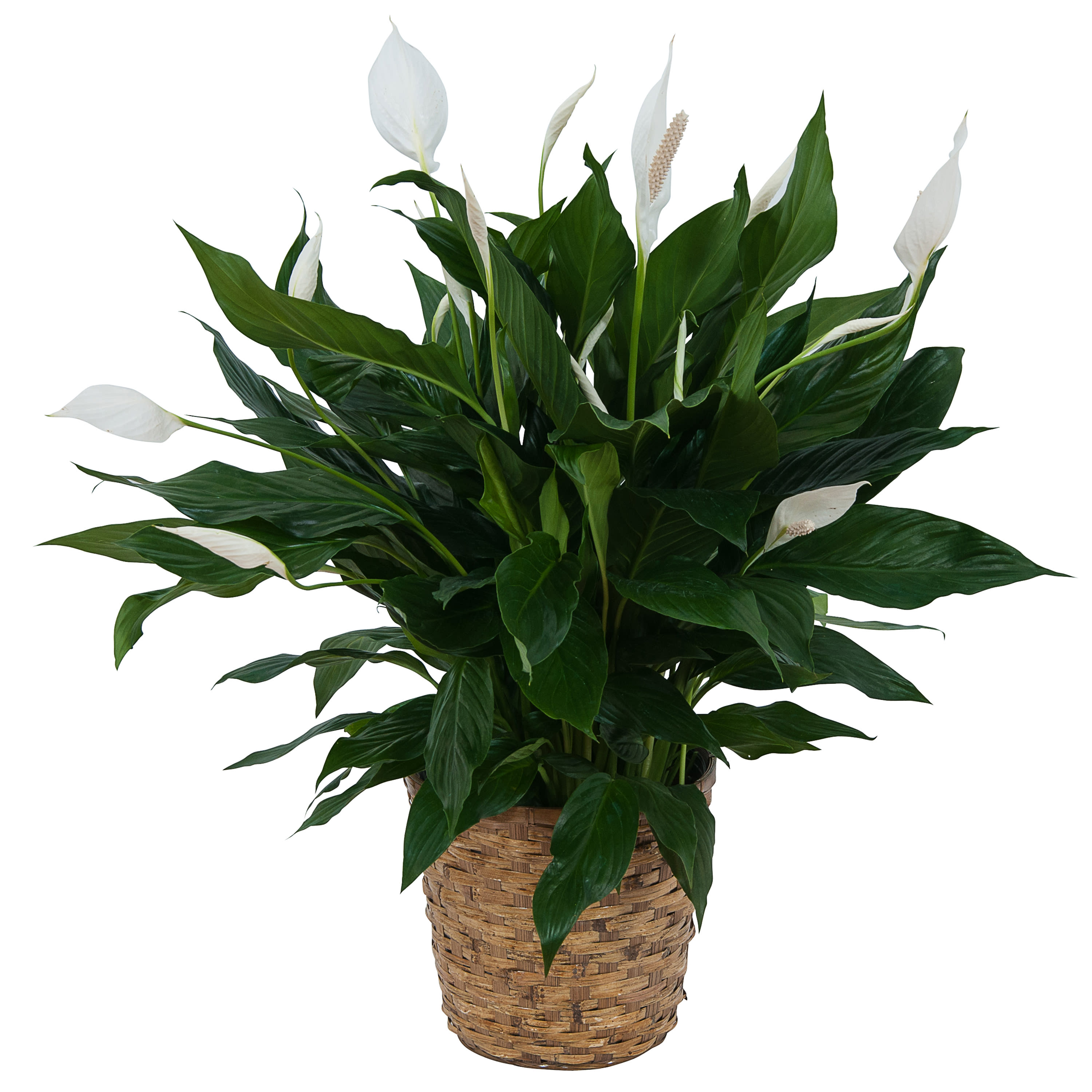 Peace Lily Plant in Basket in Middle River, MD | Drayer's Florist on pineapple plant house plant, dragon plant, black gold lily plant, zamiifolia house plant, croton house plant, peace lily plant benefits, problems with peace lily plant, artificial bamboo house plant, black bamboo potted plant, peace lily family plant, peace lily potted plant, classic peace lily plant, chinese evergreen house plant, marginata house plant, weeping fig house plant, peace plant brown leaves, holly house plant, white and green leaves house plant, funeral peace lily plant, droopy peace lily plant,