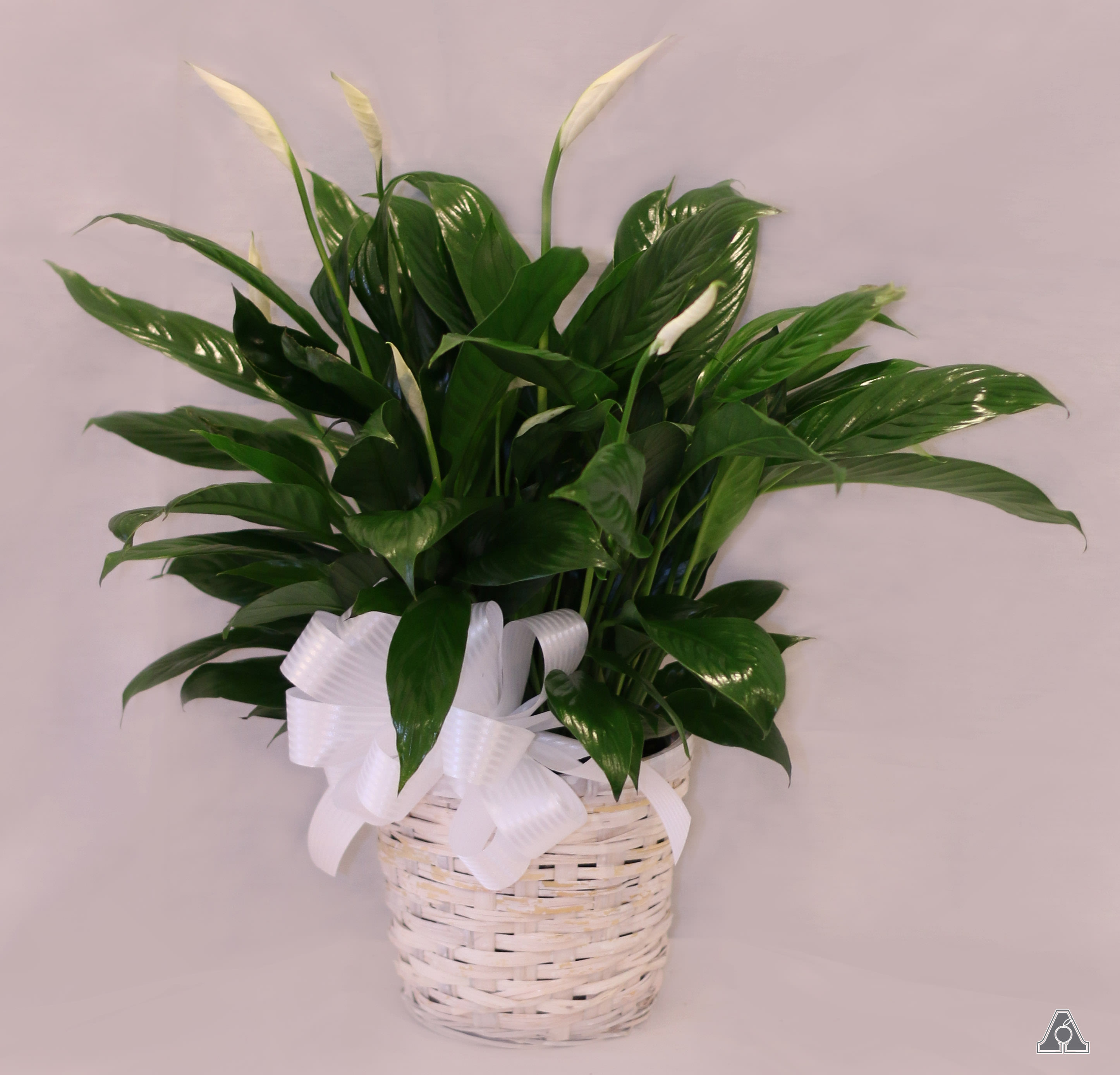Peace Lily Plant in Amherst, MA | Atkins Farms Flower Shop on peace lily family plant, chinese evergreen house plant, droopy peace lily plant, funeral peace lily plant, peace lily potted plant, peace lily plant benefits, classic peace lily plant, black bamboo potted plant, white and green leaves house plant, croton house plant, peace plant brown leaves, dragon plant, holly house plant, zamiifolia house plant, problems with peace lily plant, weeping fig house plant, marginata house plant, artificial bamboo house plant, black gold lily plant, pineapple plant house plant,