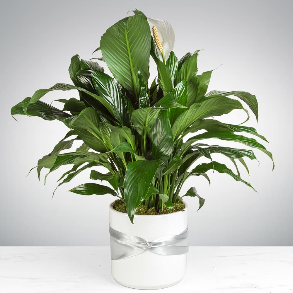 Spathiphyllum Plant - Peace Lilly in Hartland, WI | Wild Petals on pineapple plant house plant, dragon plant, black gold lily plant, zamiifolia house plant, croton house plant, peace lily plant benefits, problems with peace lily plant, artificial bamboo house plant, black bamboo potted plant, peace lily family plant, peace lily potted plant, classic peace lily plant, chinese evergreen house plant, marginata house plant, weeping fig house plant, peace plant brown leaves, holly house plant, white and green leaves house plant, funeral peace lily plant, droopy peace lily plant,