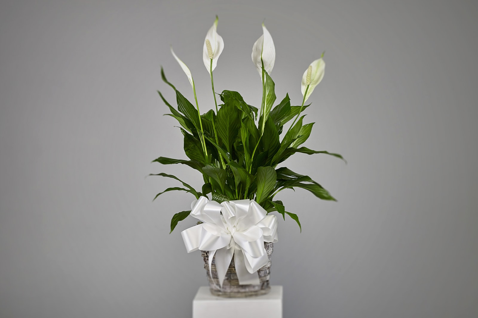 EXQUSITE PEACE LILY PLANT in Los Angeles, CA | FLOWERS PRONTO on peace lily family plant, chinese evergreen house plant, droopy peace lily plant, funeral peace lily plant, peace lily potted plant, peace lily plant benefits, classic peace lily plant, black bamboo potted plant, white and green leaves house plant, croton house plant, peace plant brown leaves, dragon plant, holly house plant, zamiifolia house plant, problems with peace lily plant, weeping fig house plant, marginata house plant, artificial bamboo house plant, black gold lily plant, pineapple plant house plant,