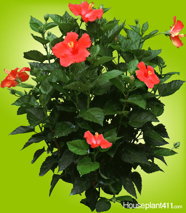 8 Hibiscus Plant By The Flower Puff Girlz