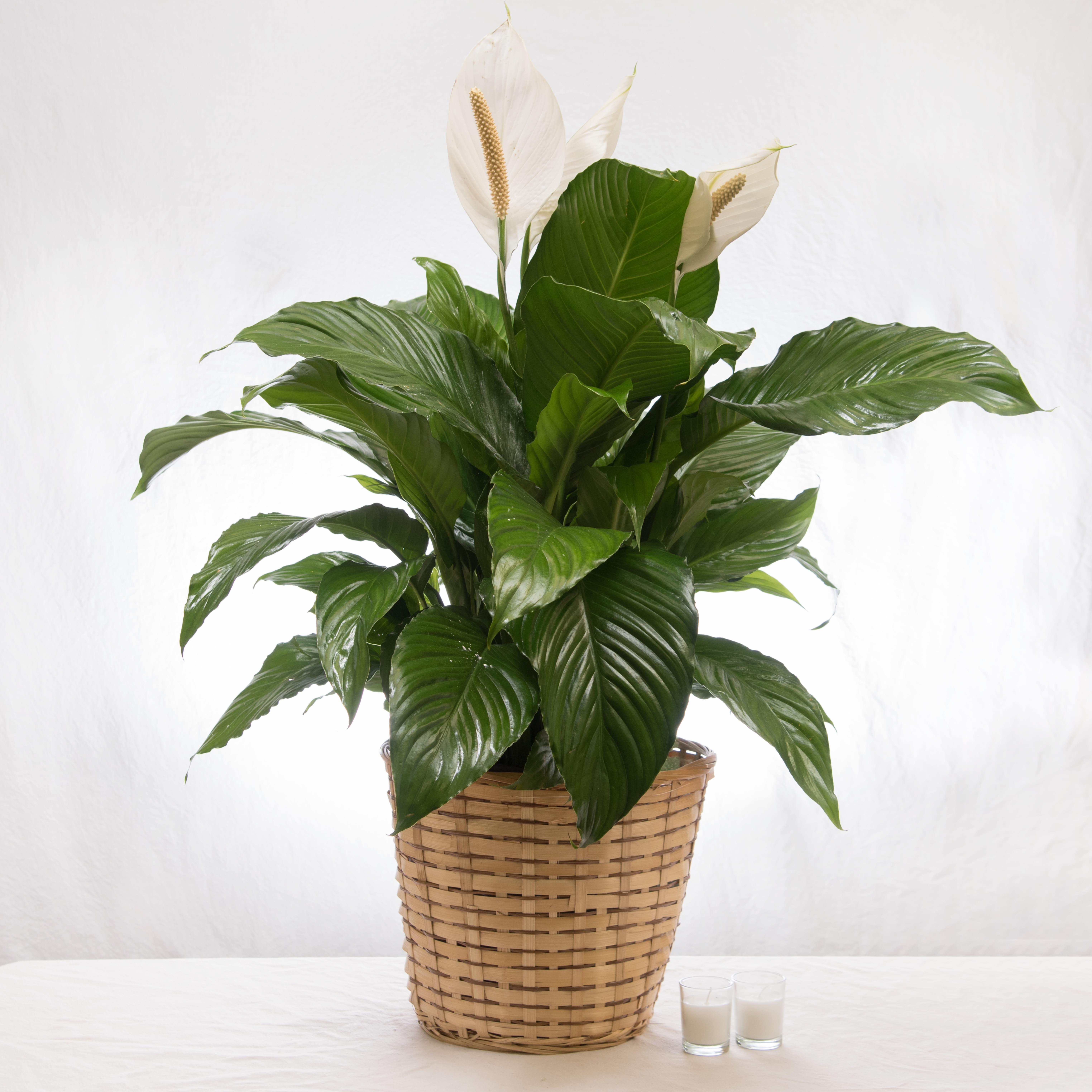 Peace Lily in Philadelphia, PA   Ten Pennies Florist on vanda house plants, north carolina house plants, missouri house plants, angel house plants, lucky house plants,