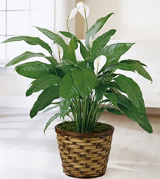 Peace Lily in Burke, VA   Flowers 'n' Ferns on vanda house plants, north carolina house plants, missouri house plants, angel house plants, lucky house plants,