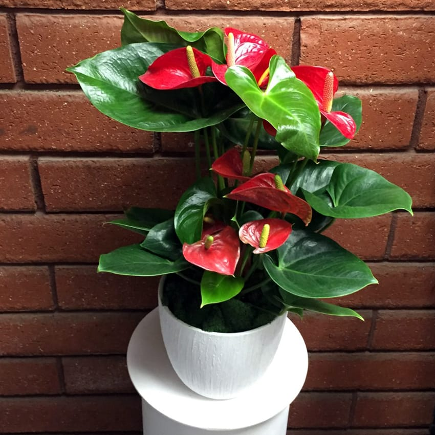 Picture of Live Antherium Red  aka Anthurium andraeanum  Plant Fit 1QRT Pot