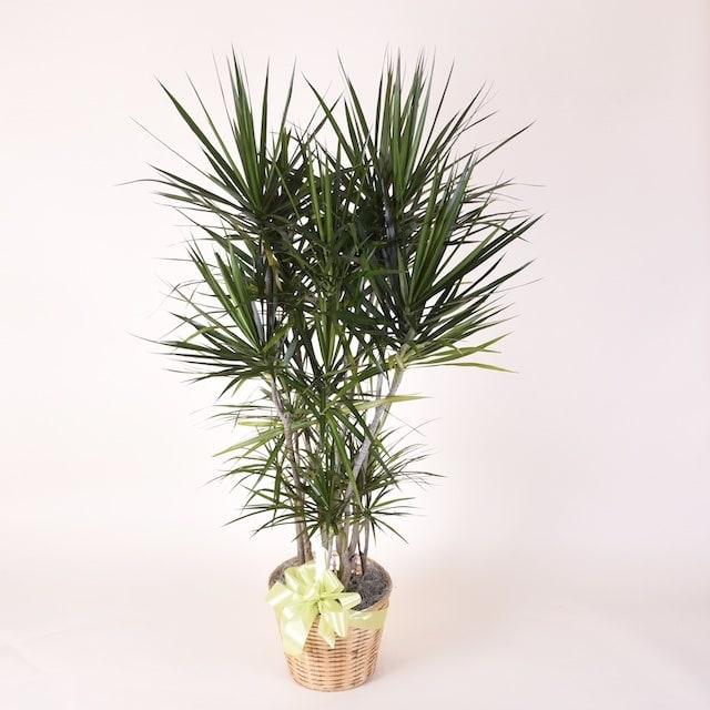 McShan Dracaena Marginata Plant - 10in by McShan Florist