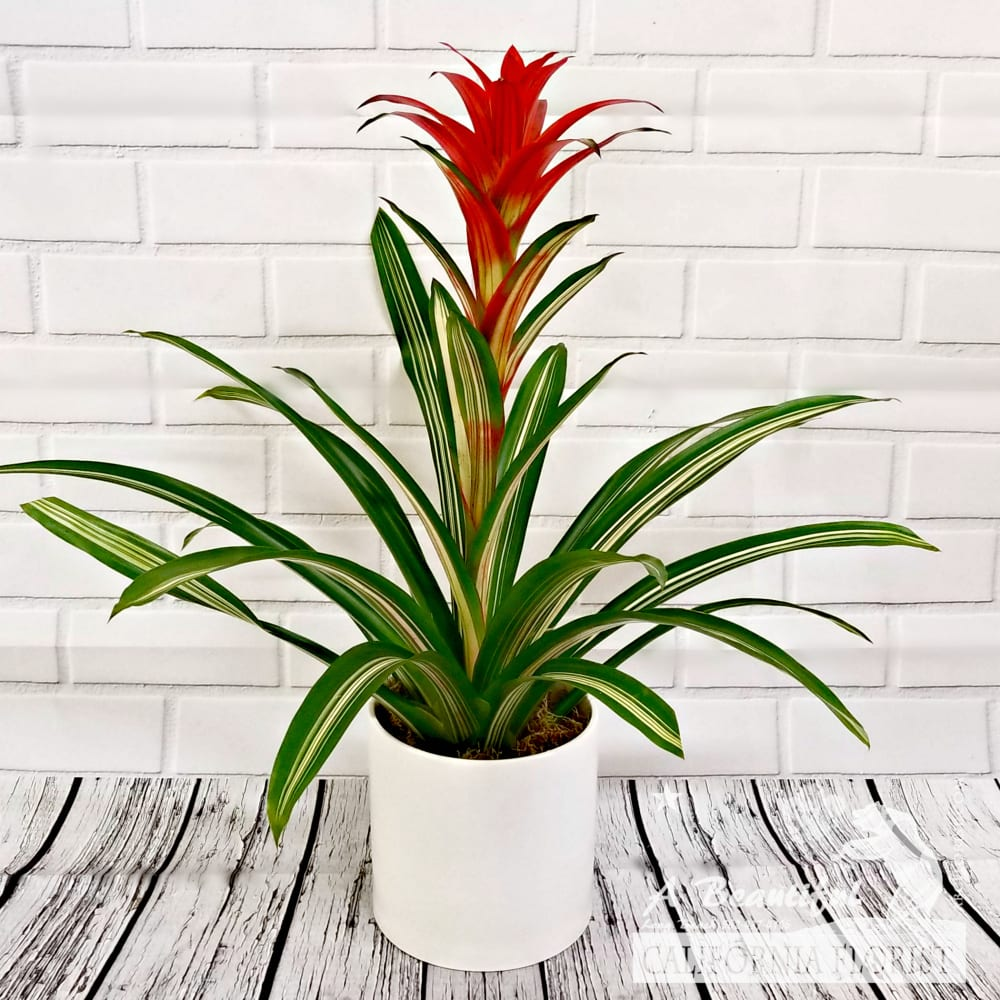 Bromeliad Plant Tropical Plants From Abc Florist Long Beach In