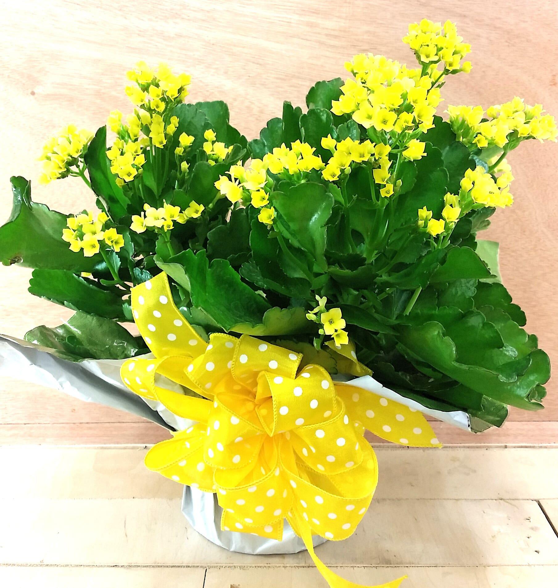 Kalanchoe Plant In Rockford Mi Rockford Flower Shop