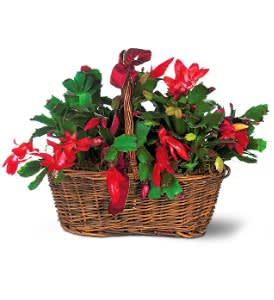 Christmas Cacti.Christmas Cactus In Roseburg Or Barb S Flowers