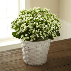 The Ftd White Kalanchoe In Rainsville Al Vicki S Flowers Gifts