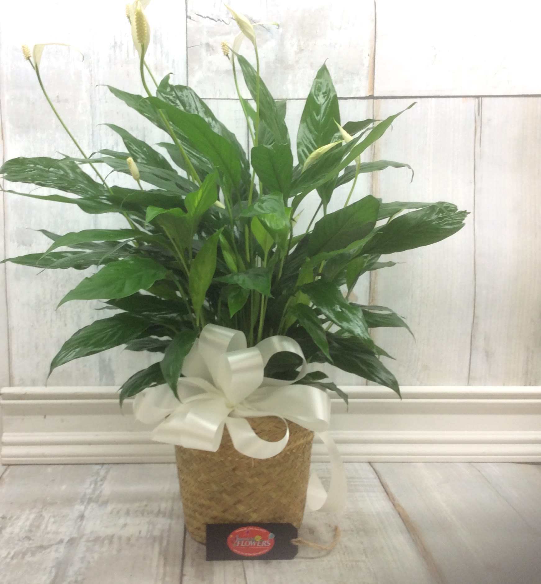 Peace Lily Plant in Camdenton, MO | Janine's Flowers on peace lily family plant, chinese evergreen house plant, droopy peace lily plant, funeral peace lily plant, peace lily potted plant, peace lily plant benefits, classic peace lily plant, black bamboo potted plant, white and green leaves house plant, croton house plant, peace plant brown leaves, dragon plant, holly house plant, zamiifolia house plant, problems with peace lily plant, weeping fig house plant, marginata house plant, artificial bamboo house plant, black gold lily plant, pineapple plant house plant,