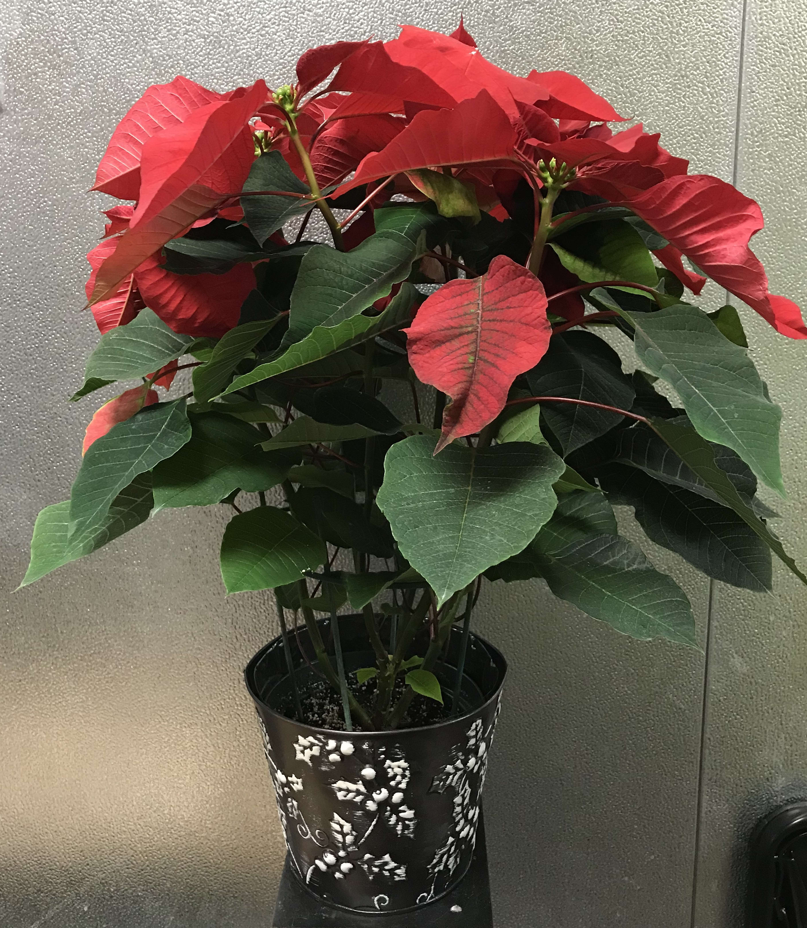 6 Inch Poinsettia Plant In Edwardsville Il A Wildflower Shop