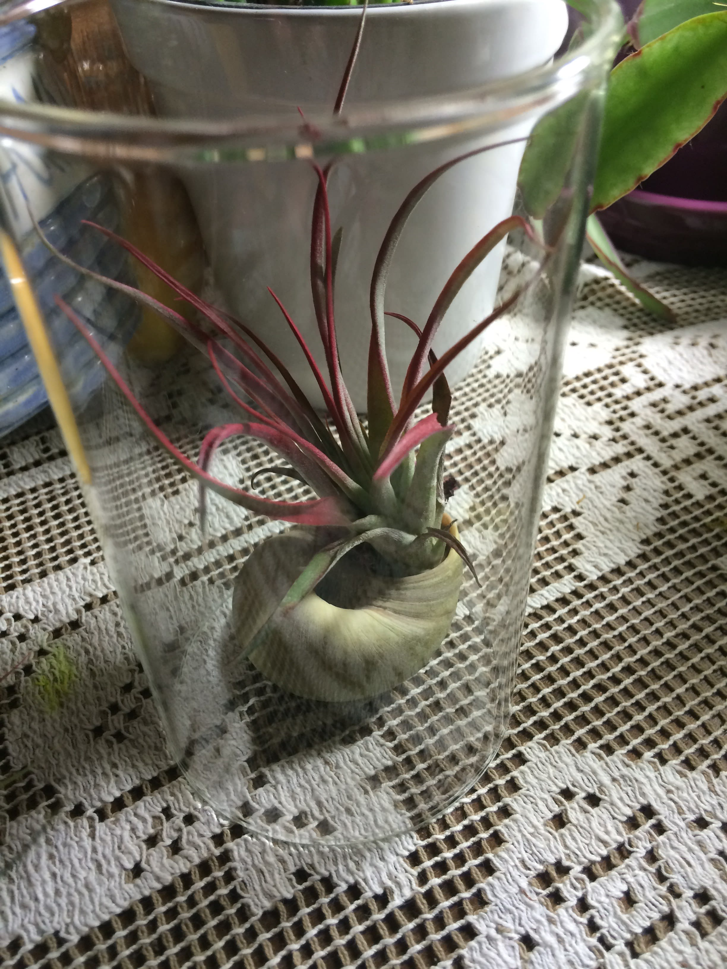 Air Plant Under Glass In Greenfield Wi Kathy S 2nd Chance Plants
