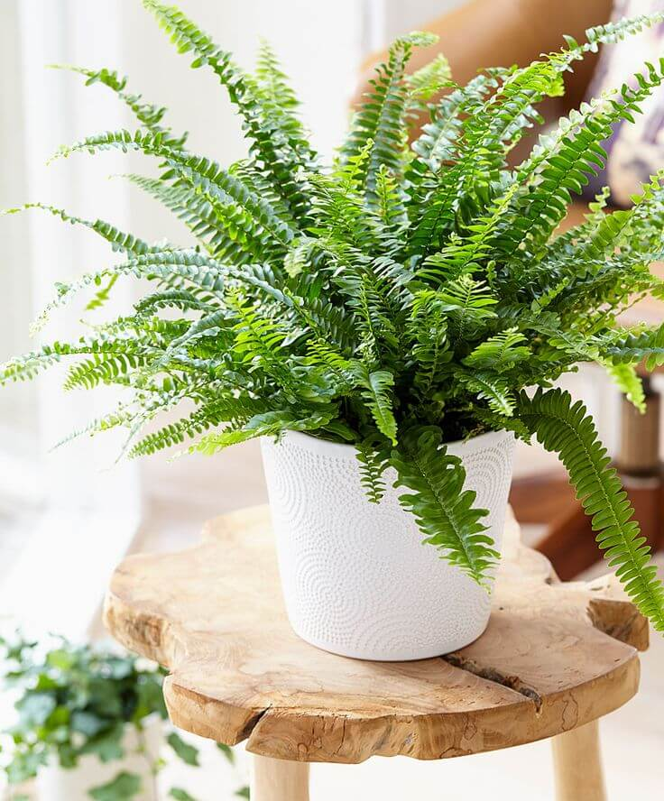 Boston Fern In Columbus Oh Donya S Florals