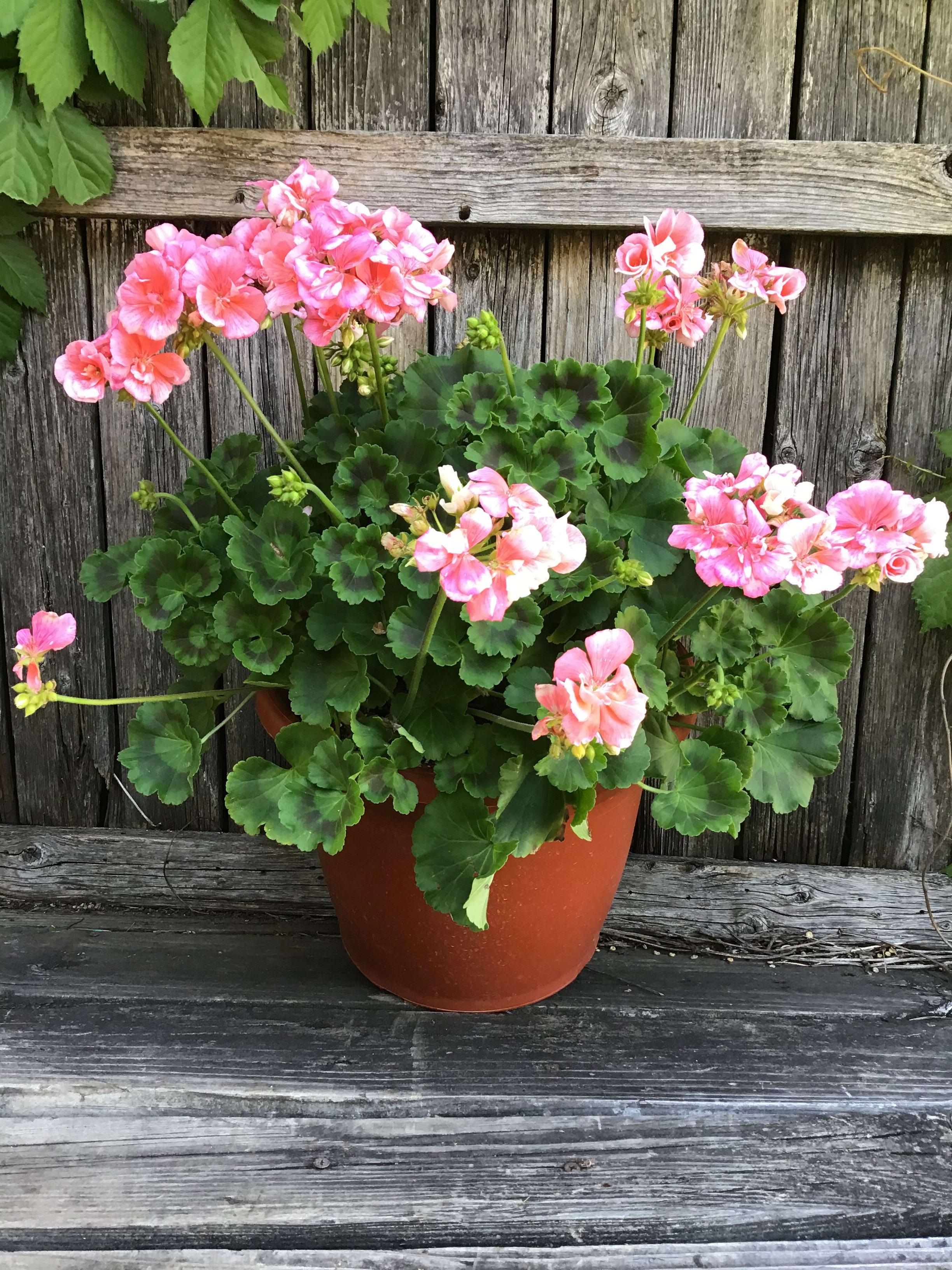 Geranium Blooming Plant In Lake Worth Tx Lake Worth Florist