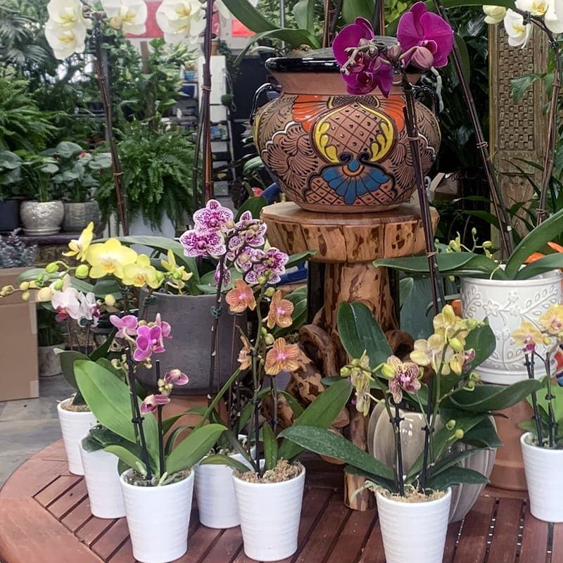 Orchid Plants Variety In Brooklyn Ny James Weir Floral Co