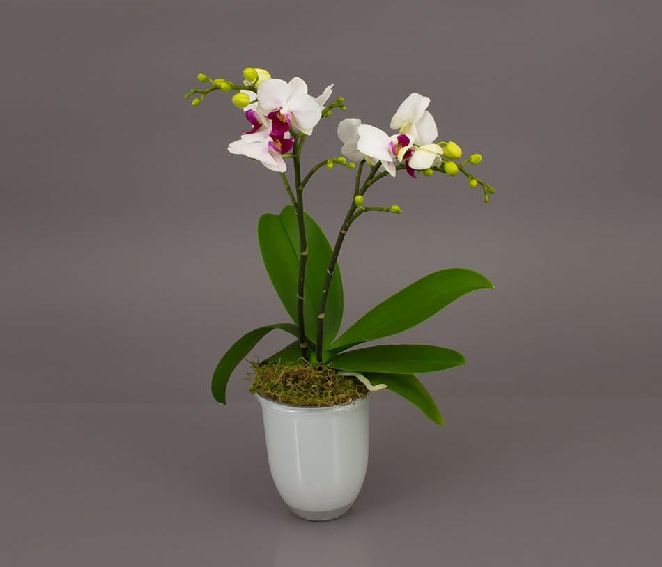 Miniature Desktop Orchid In Trophy Club Tx House Of Flowers Dfw