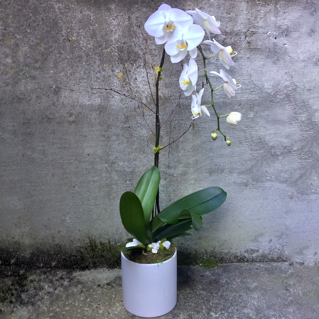 White Phalaenopsis Orchid Plants In Seattle Wa Fiori Floral Design
