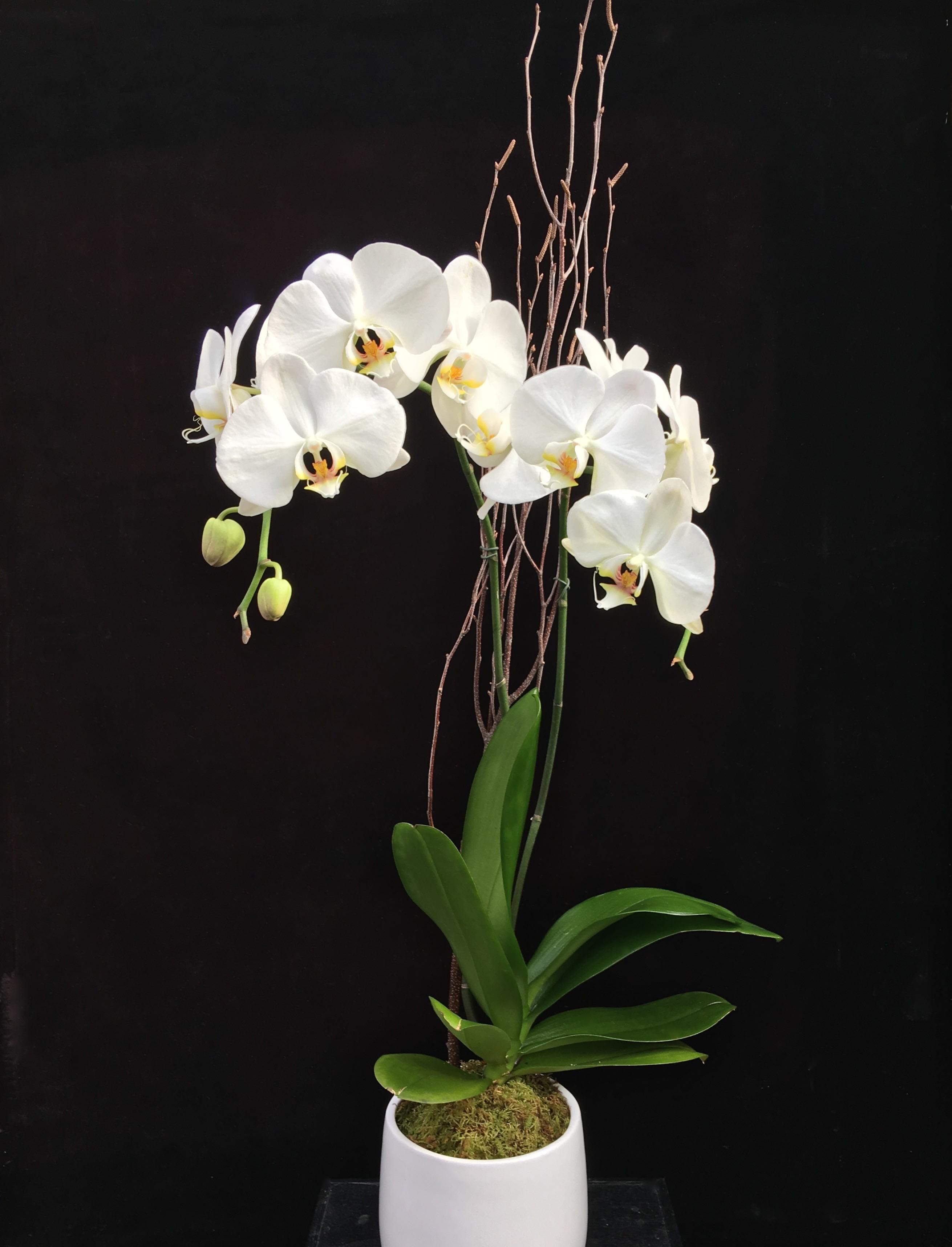 Phalaenopsis Orchid In Mclean Va Flowers Plants Etc