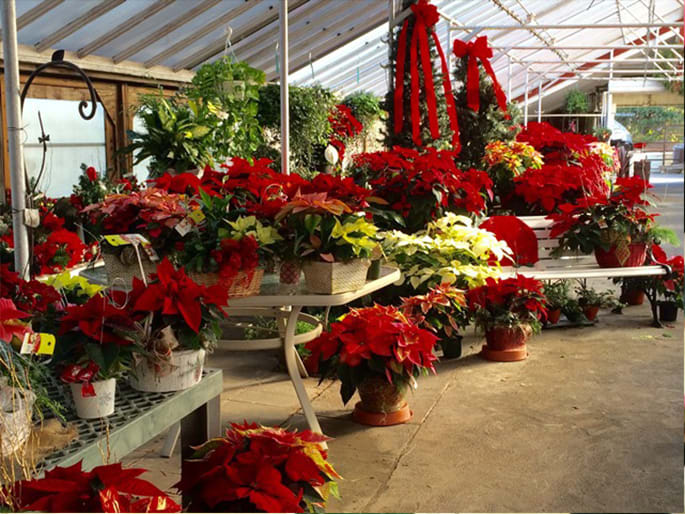 Poinsettia Care Parkview Gardens Florist Greenhouses