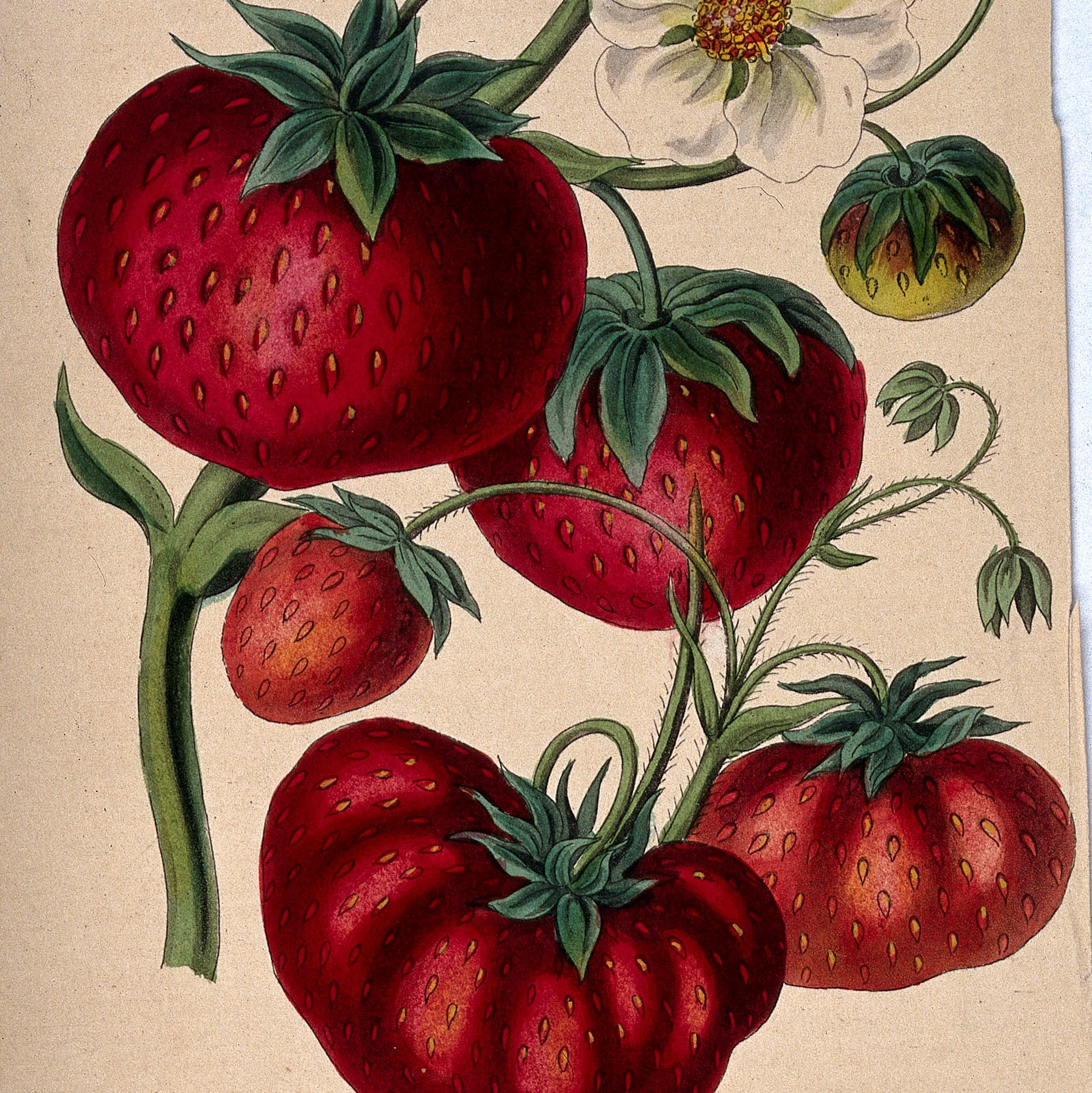 This image shows examples of the fruit and flowers of fragaria cultivars, or strawberry plants.