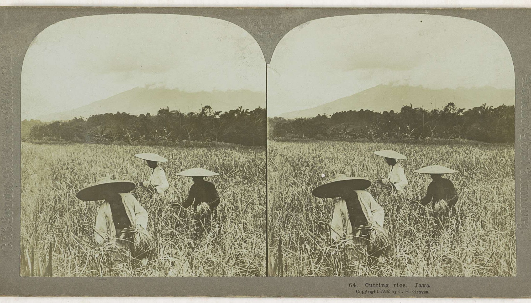 Two photographs of people cutting rice in Java.