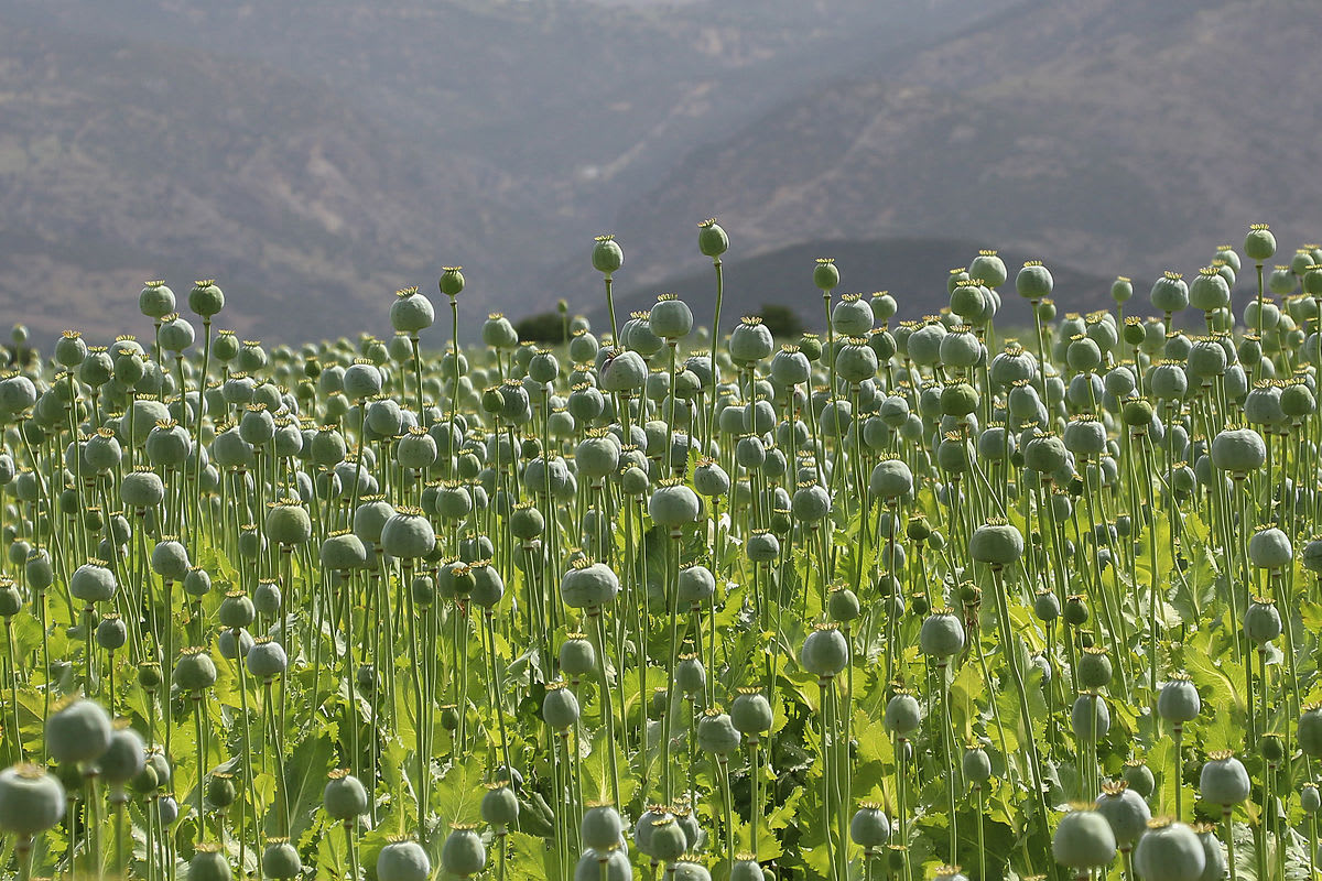 A poppy field in Turkey