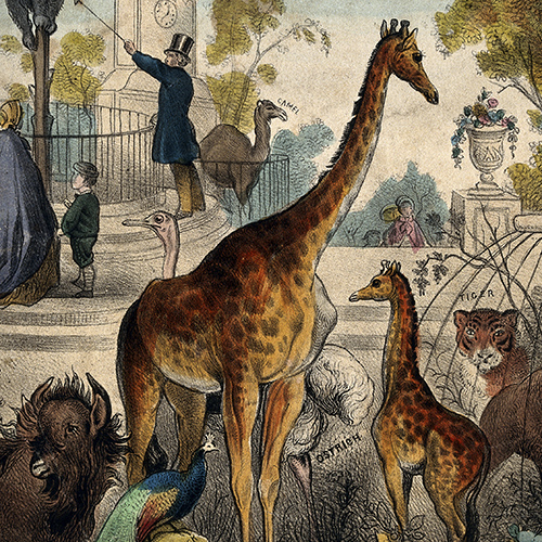 This image shows a zoo with giraffes, tigers, and a peacock.