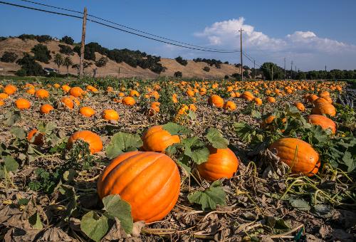 Pumpkins growing on the vine bake in 100 degree heat on September 2, 2017, in Solvang, California.