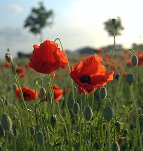 Poppies in Flanders Field