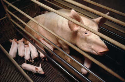 taly, Po Delta, Saluzzo, Vicinity Cuneo, Battery Pig Farms. An image of a pig along with her piglets.