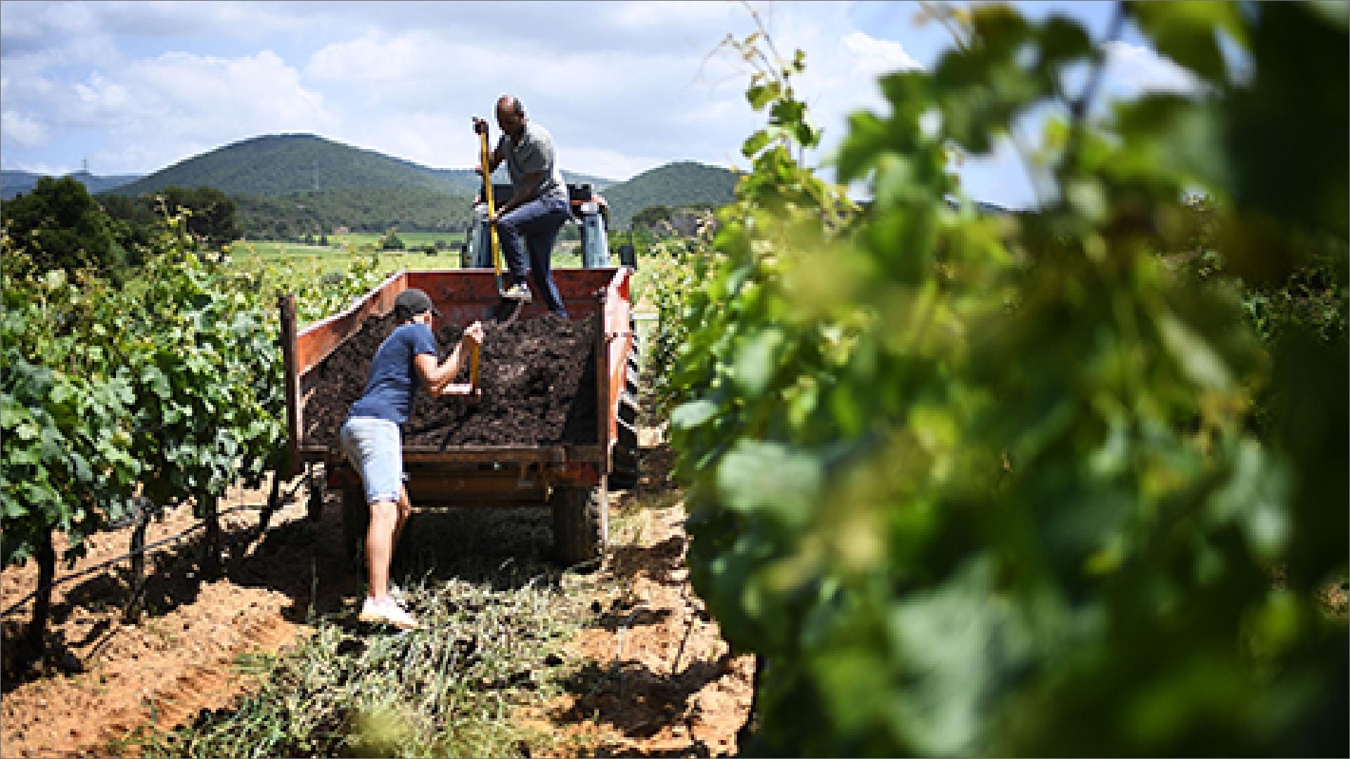Farmers harvesting grapes at a vineyard