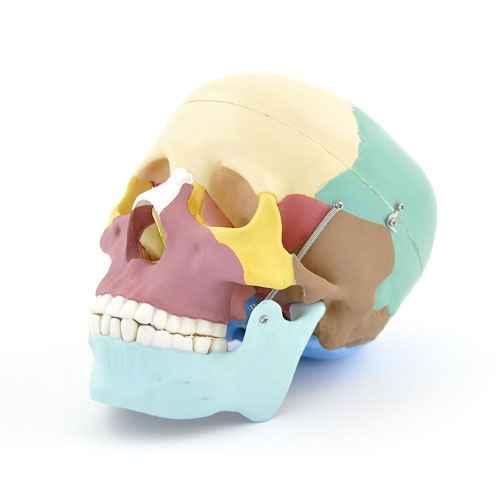 Colored Skull Model