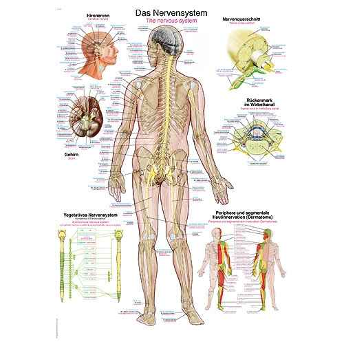 """Wall Chart """"The Nervous System"""""""