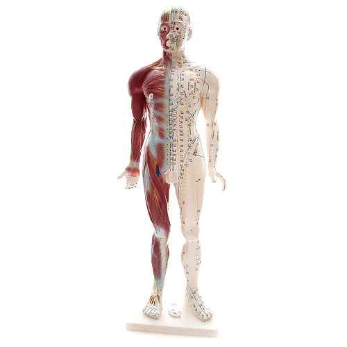 Human Acupuncture Model