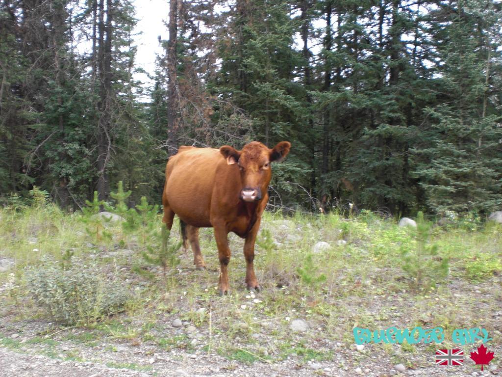 not a moose